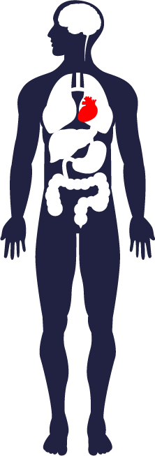 A profile illustration of the human body, focusing on the brain, digestive organs, heart and lungs